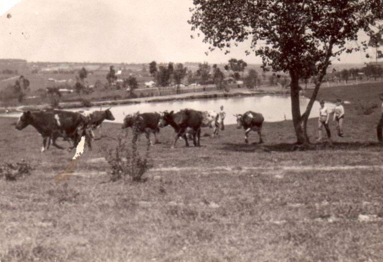 Cattle round up at Gwynton Park - 1935